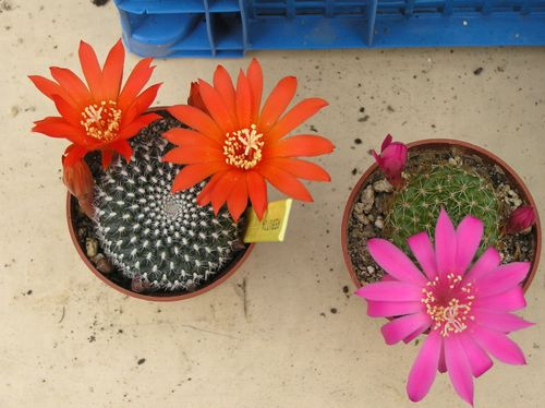 rebutia mix 1