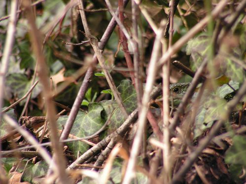 Lacerta-viridis--oeil.JPG