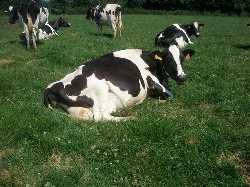 vaches pâture 2