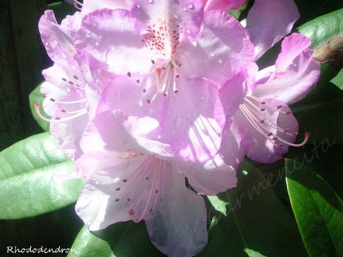 Rhododendron-BorderMaker