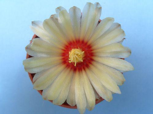 Astrophytum asteria cv Super Kabuto (11)