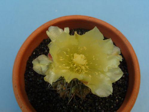 Copiapoa montana (26)