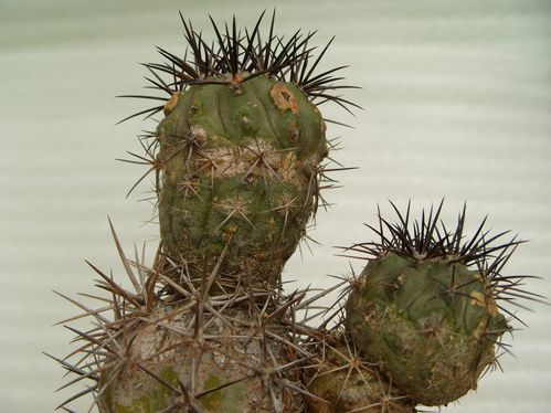 copiapoa lembckei (2)