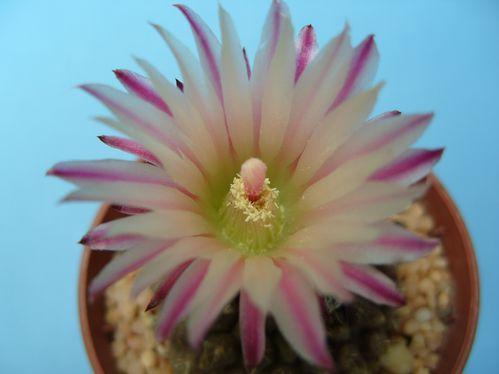 Eriosyce esmeraldana (12)