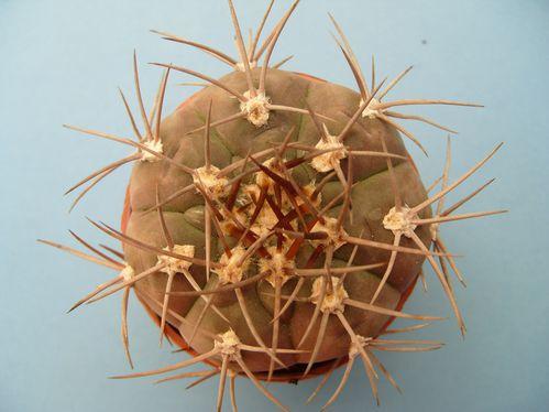 Gymnocalycium castellanosii var. bozsingianum (6)