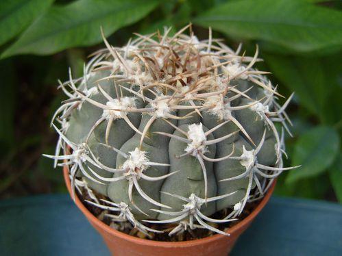 Gymnocalycium ochoterenae ssp. herbsthoferianum (5)