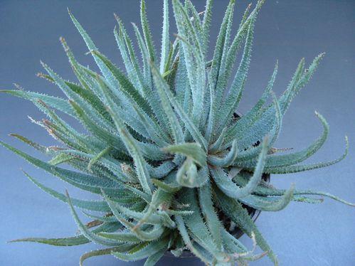 Aloe parvula (7)