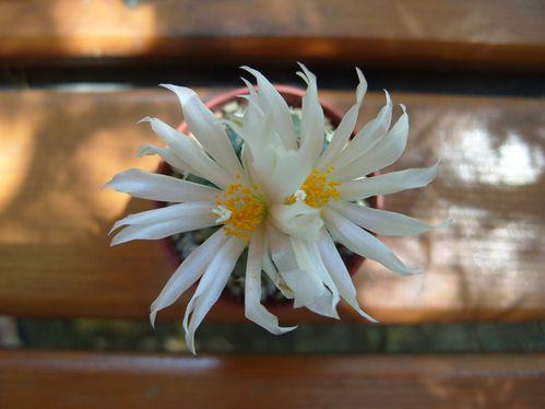 turbinicarpus lophophoroides (1)