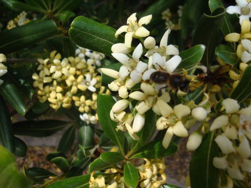 Pittosporum tobira'