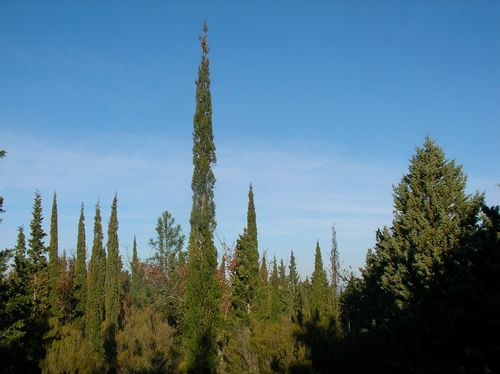CypresDeFlorence Cupressus sempervirens stricta Narbonne de