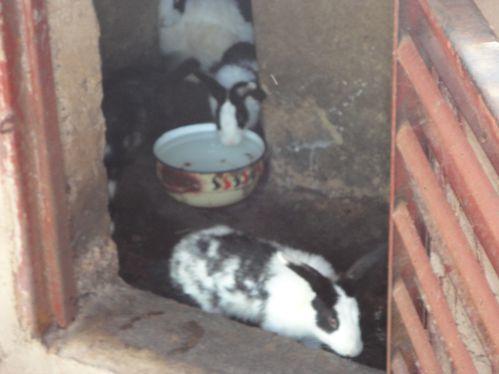 Clapier et lapins au presbytère