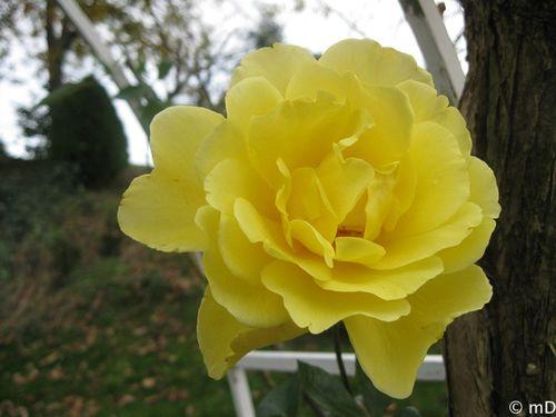 Rose du 8 décembre-border