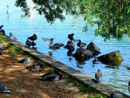 canards-pigeon-vole.jpg