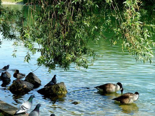 pigeons-canards-branches.jpg