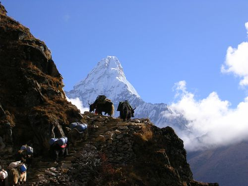 Caravan of Yaks with Ama Dablam