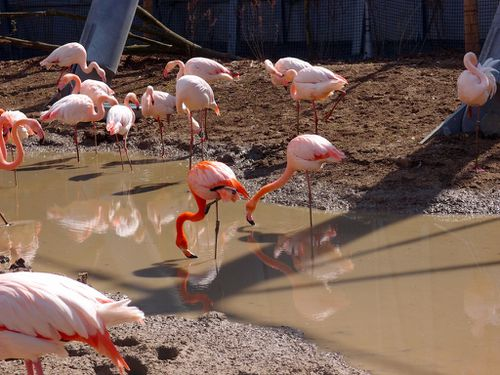 flamants-roses-voliere-parc-zoologique-vincennes-zoo.JPG
