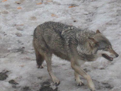 juraparc loups 16
