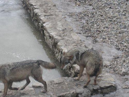 juraparc loups 2
