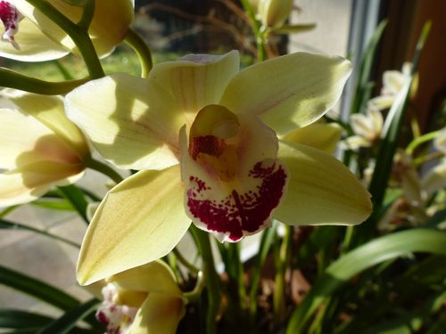 2015-01-17-Cymbidium-ML-004.JPG