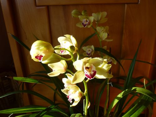 2015-01-17-Cymbidium-ML-006.JPG