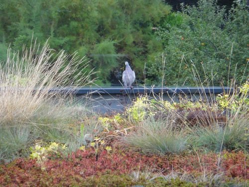 121005-TTV-pigeon-coulommiers-1.JPG