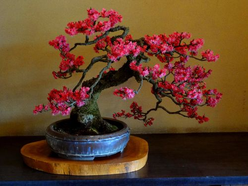 prunier-bonsai.jpg