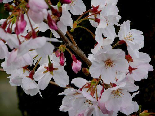 sakura-matsuri-1.jpg