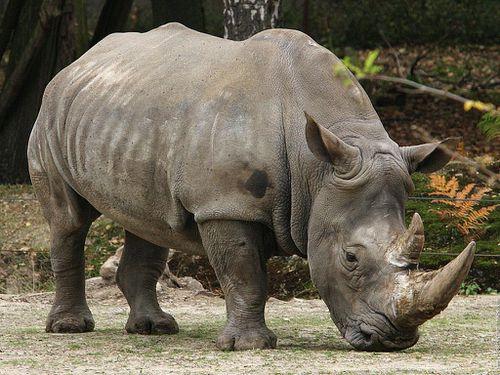 rhinoceros_19.jpg