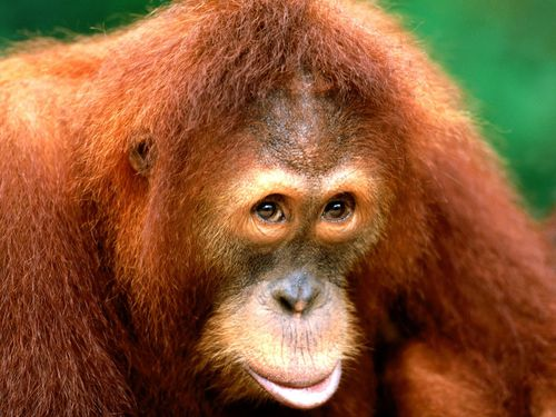 Being-Coy-Sumartran-Orangutan.jpg