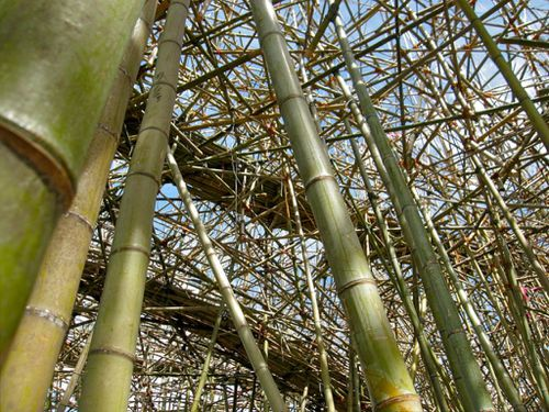 Big bambu by wka (1)