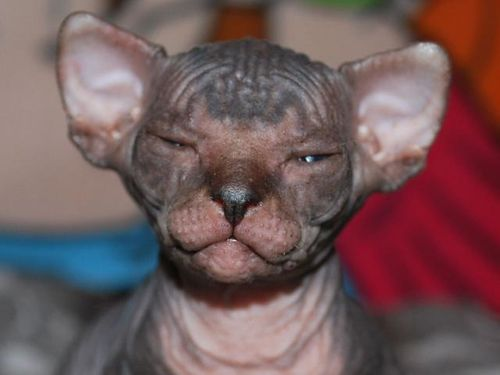 photo1-superbes-bebes-sphynx-disponible-de-suite- sphynx-a-
