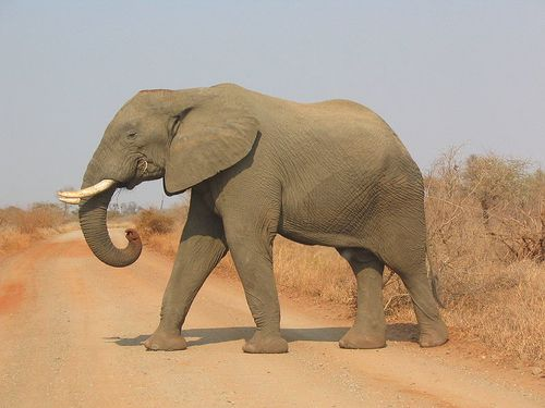 800px-Elephant side-view Kruger