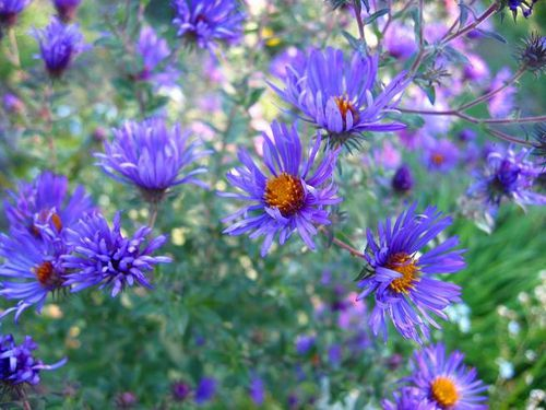 asters-automne