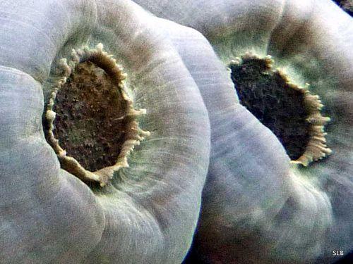 Anemone-oreille d'elephant-Amplexidiscus fenestrafer