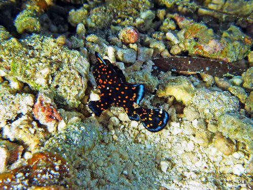 Poisson-grenouille-nain-Antennarius sp.