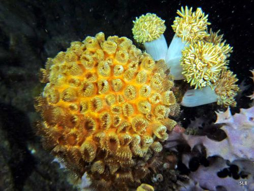 Corail-Scléractiniaires