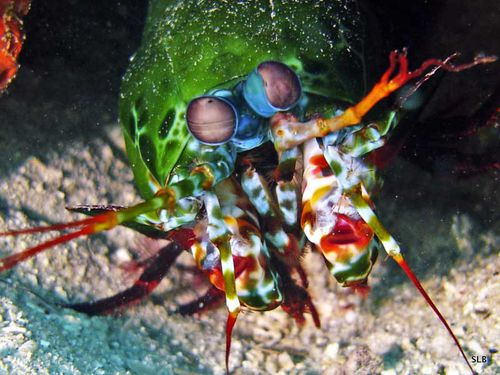 Crevette-Squille-Mantis shrimp