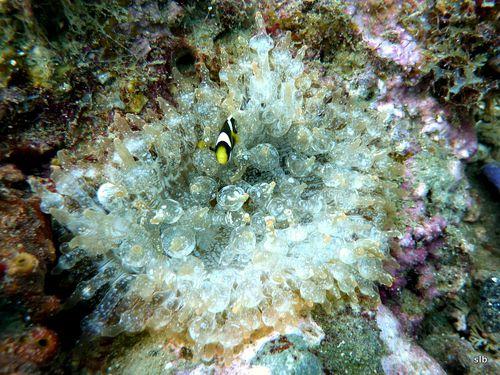 Anémone-Entacmaea quadricolor