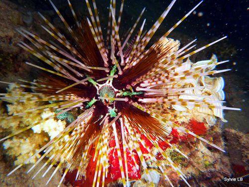 Oursin-Echinothrix-calamaris-01