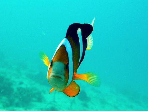Poisson-clown-Amphyprion-cf-clarkii