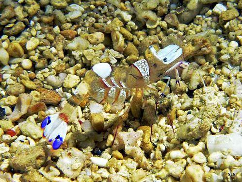 Crevette-Periclimenes sp. et ses oeufs