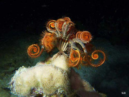 Comatule-Lys de mer-Crinoides