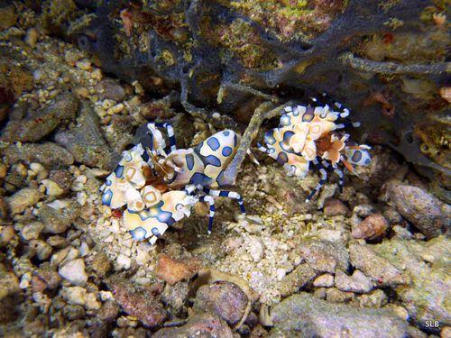 Crevette-arlequin-Hymenocera elegans-couple