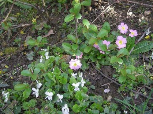 violettes 3