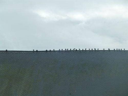 Coq pas sur la photo, Oiseaux, Eglise Morainville-Jouveaux