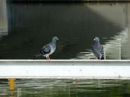pigeon-twin-vltava.JPG
