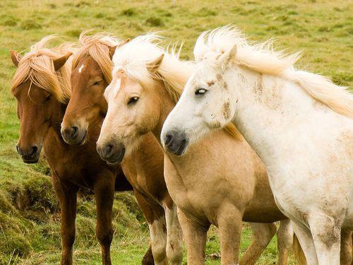 La-transhumance-des-chevaux-islandais.jpg