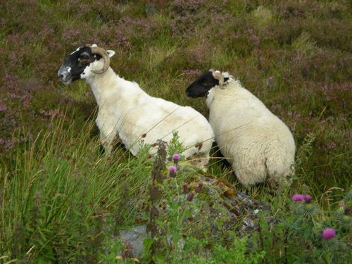2013.06.24-mouton-ecosse-highlands.jpg