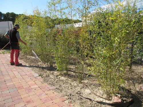 Création haie de bambou - LJS jardin 34740 VENDARGUES