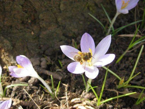 Mars 18 2010 Hellebores, Crocus et abeilles 005